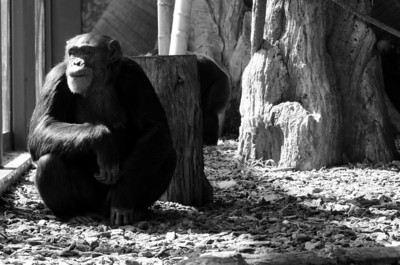 A pensive chimpanzee at the Lincoln Park Zoo.